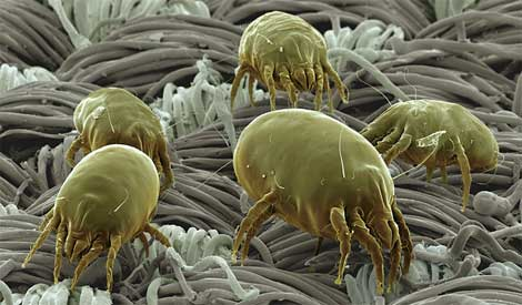 dust mites Stop Morning Allergy Symptoms In 3 Easy Steps