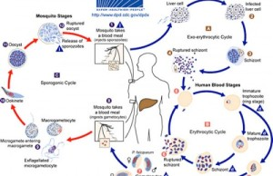 Malaria Life Cycle CDC