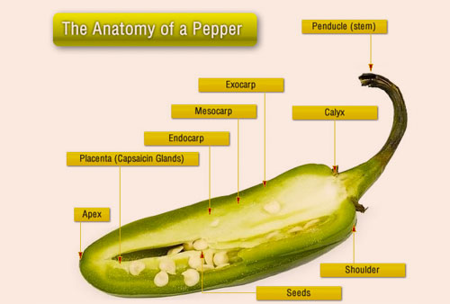 jalapeno pepper Top 6 Health Benefits of Jalapeno Unveiled