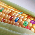 GM Corn 150x150 Top 10 Cereals That Contain GMOs