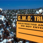 GM cotton 150x150 Top 10 Cereals That Contain GMOs