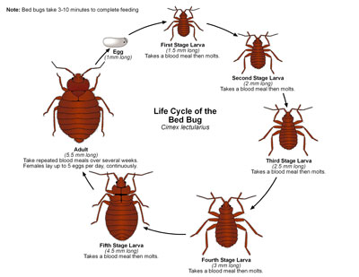 life-cycle-of-bed-bug-small